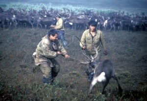 Reindeer herders of the sovkhoz and village of Snezhnoe, Chukotka, Russia.