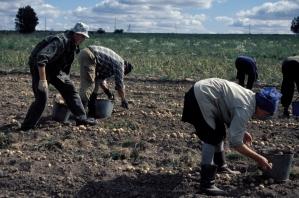 Paigusovo_potato harvest
